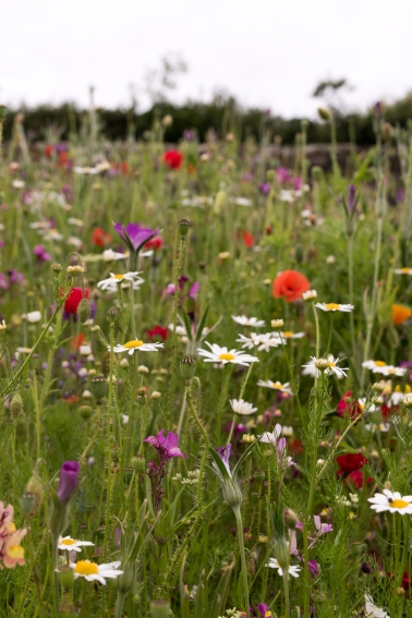 Cornwall-Summer-Meadow-3