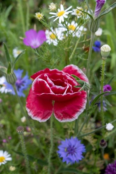 Cornwall-Summer-Meadow-7