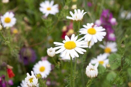 Cornwall-Summer-Meadow-9