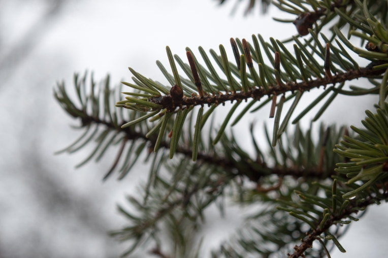 Fir-Tree-Branches